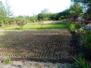 sawah di kawasan gumuk pasir